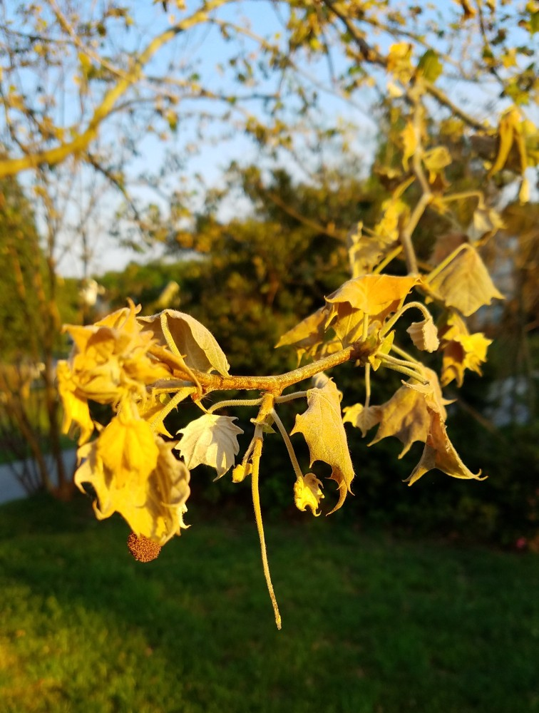 Sycamore Leaves - April