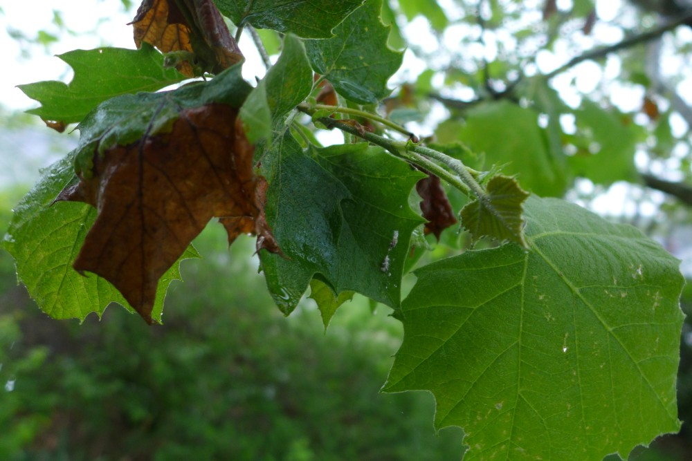 Damaged Leaves