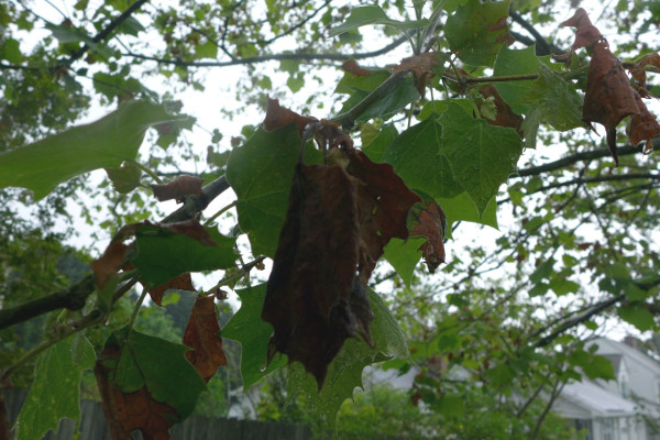Sycamore Anthracnose in Wake Forest