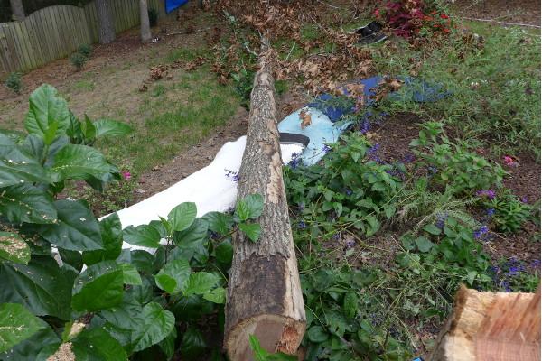Dead Oak in Apex