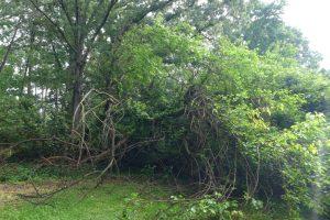 Storm Fallen Mulberry