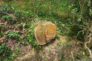 Mulberry cut back to root mound.